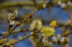 DSC_6695_480-a (Julysha) Tags: plants march spring thenetherlands insects dxo noordholland twiske d700 nikkor28300vr