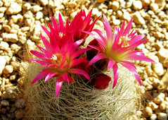 """Desert Beauty"" by My Lovely Wife (Puzzler4879) Tags: pink flowers cactus bbg brooklynbotanicgarden pointshoot botanicgardens canonpowershot pinkflowers cactusflowers canondigital canonaseries canonphotography canonpointshoot a580 canona580 canonpowershota580 powershota580 pinkcactusflowers"