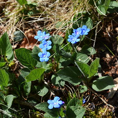 Forget-Me-Nots [Barcis - 30 March 2014] (Doc. Ing.) Tags: flowers mountains spring fvg dolomiti pn friuli pordenone 2014 valcellina barcis friuliveneziagiulia nordest parcodolomitifriulane