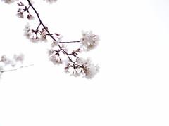 (Polotaro) Tags: flower nature pen olympus  sakura   zuiko ep1    3     mzuikodigital45mmf18