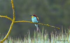 777 DSC_0193b (Pep Companyo - Barral) Tags: birds animals fauna natura aves pajaros aus ocells abejaruco merops apiaster abelerols