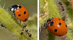 Ant Attack! (John_E1) Tags: macro closeup ant attack ladybird septempunctata coccinella sevenspot