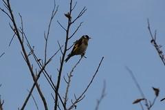 Goldfinch (trevorcridlan) Tags: nature birds nikon outdoor wildlife goldfinch d3100 tamron16300