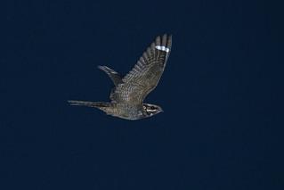 Nightjar (Caprimulgus europaeus)