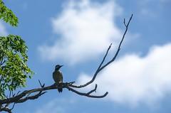 Carpintero de nuca roja (Guille Barbat) Tags: birds uruguay pajaros salto pajarocarpintero colaptesmelanochloros avesdeuruguay carpinterodenucaroja guillebarbat sarandiarapey