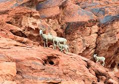 Catching Up... (Wandering Sagebrush) Tags: valleyoffire nevada lamb bighornsheep ewe oviscanadensisnelsoni bighornsheepdsc4546