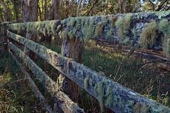 Ebor Stock Yards (Merryjack) Tags: usnea lichen