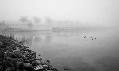 Endless shades of grey (MarxschisM) Tags: bw park lake ducks grey fog winter netherlands dutch