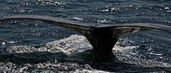 Deep dive (aleadam) Tags: stellwagenbank tail whale humpback humpbackwhale whalewatching sea 7dwf aleadam alejandroadam