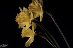 Spring (JLDMphoto) Tags: nikon d7200 tokina tokina100mmf28atxprod flower flowers stilllife daffodil yellow lowkey plant closeup