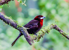 Silver Beaked Tanager (f) (50 of 57).jpg (donnatopham) Tags: tanager amazonia silverbeaked peru