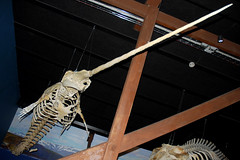 Walskelett - whale skeleton ...
