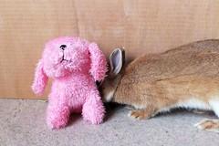 Ichigo san 631 (Ichigo Miyama) Tags: いちごさん。うさぎ rabbit bunny netherlanddwarf brown ichigo ネザーランドドワーフ ペット いちご うさぎ