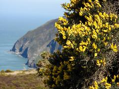 Exmoor-March-25th-1527 (fiskoffury) Tags: cliff exmoor flora nikon seaside smalldof spring