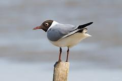 Black headed gull (Shane Jones) Tags: blackheadedgull gull bird seabird wildlife nature nikon d500 200400vr tc14eii
