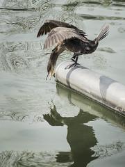ooohhh my god....I'm a duck !!! (blindlings848) Tags: duck zürichsee erschrocken spiegelbild