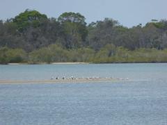 P1030247 (gordonduffus) Tags: silvergull littlepiedcormorant crestedtern