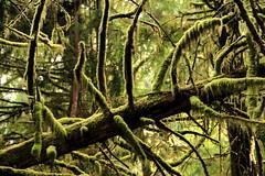 Old-growth forest, Schooner Cove- Tofino, BC (kismetfromafar) Tags: tofino vancouverisland westcoast canada britishcolumbia mytofino