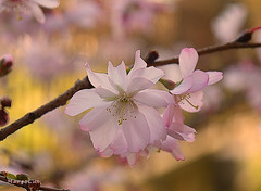 Lovely Little Blossoms ... (MargoLuc) Tags: cherry blossoms tree pink white flowers golden bokeh spring lovely weather branch season macro softness light petals backlight outside