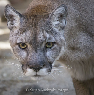 Salem the Cougar (EXPLORED)