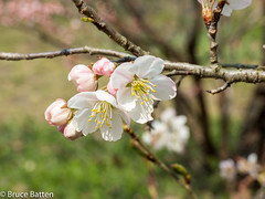 170329 Kyoto trip-09.jpg (Bruce Batten) Tags: kyoto locations rosaceae trips occasions subjects honshu trees plants flowers businessresearchtrips japan gardensarboreta kyōtoshi kyōtofu jp