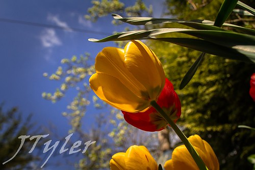 Backyard Tulips1