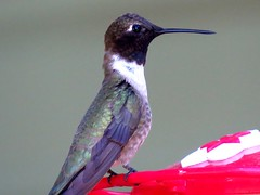 Black- Chinned Hummingbird (male) (Swany6) Tags: black oregon hummingbird hummingbirds chinned