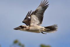 DSC_0031 (RUMTIME) Tags: bird nature birds flying flight feathers queensland kookaburra coochiemudlo flickrdiamond