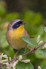 052413-5120050 (jim sonia) Tags: bird commonyellowthroat hamptonnh