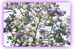 Edited Jacaranda (Anna Sunny Day) Tags: jacarandatree