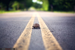 On the Road Again... (Malcolm MacGregor) Tags: turtle boxturtle thechallengefactory thepinnaclehof kanchenjungachallengewinner tphofweek204