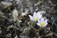 then sings my soul (betsyblue) Tags: life new light flower death spring crocus growth