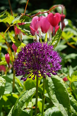 Allium under Dutchman's Trousers (Kotatsu Neko 808) Tags: flower purple allium bleedinghearts dutchmanstrousers