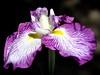 The Japanese Water Iris (Eddie C3) Tags: newyorkcity flowers iris white nature yellow purple blooms earlysummer latespring newyorkbotanicalgarden irisensata japanesewateriris nikond7000