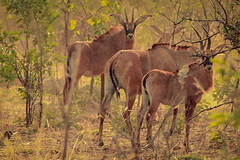Parc W, Niger (Paul A Thomas) Tags: niger mammals sableantelope eventoedungulates afrotropical
