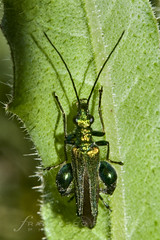 Oedemera flavipes - 7070 (Francesco Pacienza - Getty Images Contributor) Tags: life wild green animals insects critters natures microcosmos