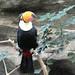 Toco Toucan @ Ueno Zoo