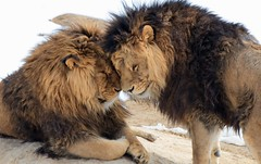 Brothers-1 (OJeffrey Photography) Tags: animals colorado brothers african wildlife lions co africanlions jeffowens ojeffrey ojeffreyphotography