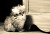 Waiting for a mouse ... (Lucien Vatynan) Tags: bw white black cat canon eos persian kitten chat noir nb tamron et blanc chaton persan 500px 60d ifttt