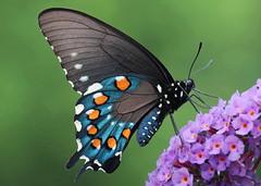 Winging His Flight (DrPhotoMoto) Tags: butterfly northcarolina swallowtail butterflybush richmondcounty pipevineswallowtail battusphilenor thinfilminterference glenbakken opticalactivity