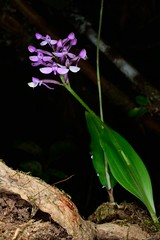 CynorchisFH2_0074 20131014 1629nutans_01 (evideerf2002) Tags: wild flower macro nature fleur de la ile runion wildorchid flowerphotography mascareigne orchidesauvage
