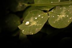 Water drops on clover (Zemiorka) Tags: autumn plants green nature water automne plante october eau belgium belgique sony drop 55mm droplet f56 clover goutte trefle hainaut terril 2013 sonynex nexf3
