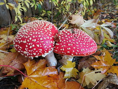 autumn red two white leaves vancouver mountpleasant spotty fungus toadstool damp ontariostreet