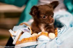 Puppy tennis fan? (Kukui Photography) Tags: dog club night puppy hawaii oahu womens tennis racquet kailua doubles kailula kailularacquetclub womensnightdoubles