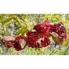 #Pomegranate #openPomegranate #aPomegranate #red #انار #1انار #انارباز #قرمز (pezHman tt) Tags: red pomegranate قرمز انار apomegranate openpomegranate 1انار انارباز