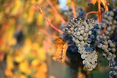 Grapes (Katka S.) Tags: autumn shadow fall nature leaves fruit dark evening leaf vineyard republic czech wine vine grapes grape matte wineyard horn moravia orande vstonice
