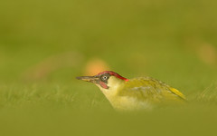 Green Woodpecker (Benjamin Joseph Andrew) Tags:
