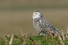 Snowy Owl (snooker2009) Tags: winter bird fall nature field animal sunrise outdoors snowy wildlife owl getty perched migration d800 thewonderfulworldofbirds photocontesttnc12 photoofthedaynwf12 dailynaturetnc13