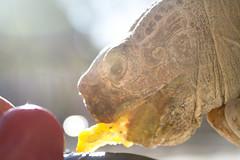 Tank Even Closer (Immature Animals) Tags: light arizona southwest roma yellow sonora canon tomato pepper flickr tank desert tucson african tortoise az marshall derek petco facebook sulcata sonorian petcofounation