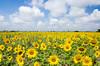 Sunflower Farm (Souvik_Prometure) Tags: india field farm sunflower karnataka hampi badami sigma1750mm tokina1116mmf28 sigma1750mmf28 tokina11mm16mmf28 nikond7000 souvikbhattacharya